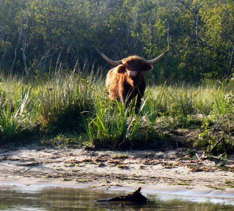 Les vaches Irish du marais